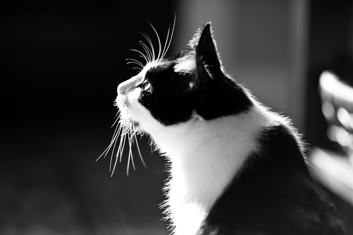 Cat photography, rescue cat photography, foster cat, foster cat photography